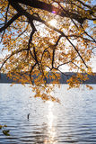 Ahornbaum mit Gelb verlässt über dem See mit Sonnenlicht Stockfotografie