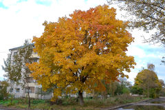 Ahornbaum mit gelben Blättern Stockbild