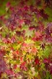 Ahornbaum nah oben im Fall Stockfotos