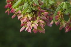 Ahornbaum-rosa geflügeltes Samen-Hintergrund-Recht Lizenzfreie Stockbilder