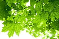 Ahornbaumblätter Stockfoto
