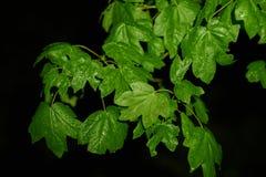 Ahornbaumblätter stockbilder