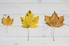 Ahornbaumblätter auf einem weißen hölzernen Hintergrund grafische Ebenenlage Stockfotos