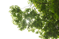 Ahornbaumkrone am Frühling Stockfotografie