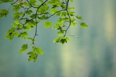 Ahornbaumniederlassung im unscharfen Waldhintergrund Lizenzfreie Stockfotografie