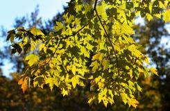 Ahornbaumniederlassungen hintergrundbeleuchtet an einem sonnigen Tag Stockfoto