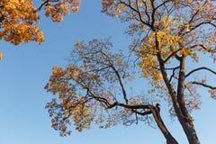 Ahornbaumniederlassungen mit den gelben und orange Blättern gegen blauen Himmel stockfotos