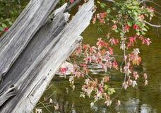 Ahornblätter über einem Adirondack-Fluss Lizenzfreie Stockbilder