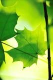 Ahornblätter Lizenzfreies Stockbild
