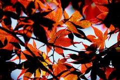 Ahornblätter Stockfotografie