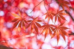 Ahornblätter, abstrakte Hintergründe des Herbstes [Weichzeichnung] Lizenzfreie Stockbilder