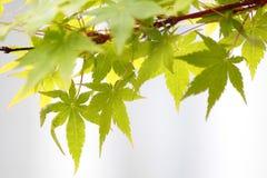 Ahornblätter (Acer palmatum) Lizenzfreie Stockfotografie