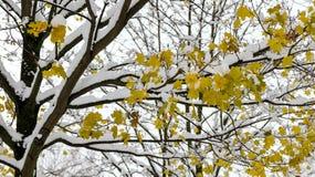 Ahornblätter alias Acer palmatum im Schnee Stockbild