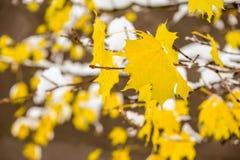 Ahornblätter alias Acer palmatum im Schnee Stockfotos