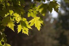 Ahornblätter auf dem Baum in der Natur Stockfoto