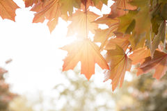 Ahornblätter auf einem Zweig im Herbst Lizenzfreie Stockfotografie