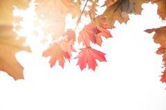 Ahornblätter auf einem Zweig im Herbst Lizenzfreies Stockfoto