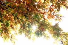 Ahornblätter auf einem Zweig im Herbst Stockfotografie