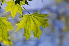 Ahornblätter auf natürlichem blauem Hintergrund Lizenzfreie Stockfotografie