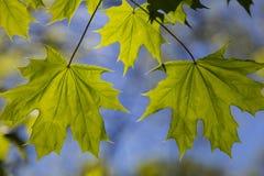 Ahornblätter auf natürlichem blauem Hintergrund Lizenzfreies Stockfoto