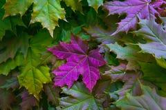Ahornblätter in den gelben und grünen Farben mit einem großen hellen rosa purpurroten Blatt Stockbilder