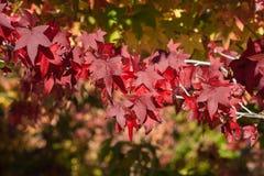 Ahornblätter in den Herbstfarben Lizenzfreies Stockfoto