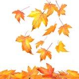 Ahornblätter, die auf Weiß fallen Stockfotografie