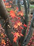 Ahornblätter, die an den Baumasten hängen stockfoto