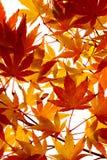 Ahornblätter, die Farbe drehen Stockfotografie