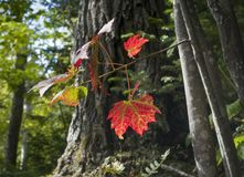 Ahornblätter drehend rot in den Adirondack-Bergen Stockfoto