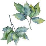 Ahornblätter in einer Aquarellart lokalisiert Lizenzfreie Stockfotos