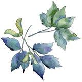 Ahornblätter in einer Aquarellart lokalisiert Lizenzfreies Stockfoto