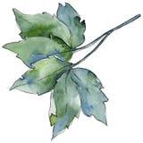 Ahornblätter in einer Aquarellart lokalisiert Lizenzfreies Stockbild