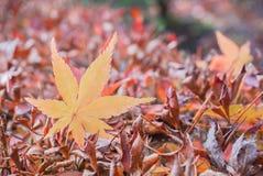 Ahornblätter fallen Hintergrund auf Herbstsaison an Nationalpark Nikko stockbilder
