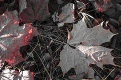 Ahornblätter gefallen vom Baum aus den Grund Stockbilder