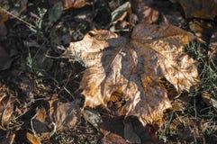 Ahornblätter gefallen vom Baum aus den Grund Lizenzfreies Stockfoto