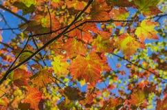 Ahornblätter glühen im Sonnenlicht Stockfotos