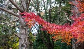 Ahornblätter haben Rot im Fall gedreht Lizenzfreie Stockbilder