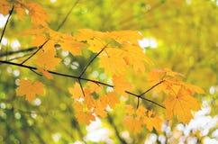 Ahornblätter im Herbst Lizenzfreie Stockfotografie