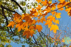 Ahornblätter im Herbst Stockbild