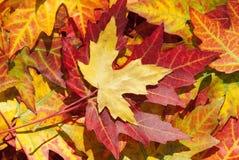Ahornblätter im Herbst, Acer platanoides Stockfotografie