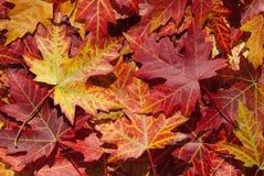 Ahornblätter im Herbst, Acer platanoides Stockbild