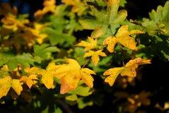 Ahornblätter im Sonnenlicht Lizenzfreie Stockfotos