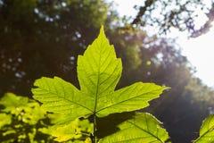 Ahornblätter im Sonnenlicht stockfotos