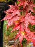 Ahornblätter nach dem Regen Stockbild