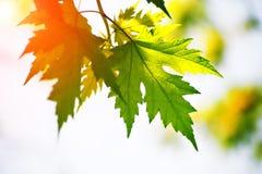 Ahornblätter rot und grün Stockbild