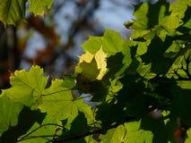 Ahornblätter, Sussex, England, Großbritannien Stockfoto