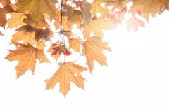 Ahornblätter und Ahornschlüssel auf einem Zweig im Herbst, Platanenschlüssel, Lizenzfreie Stockfotografie