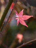 Ahornblätter und Niederlassung im Herbst Stockbilder