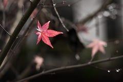 Ahornblätter und Niederlassung im Herbst Lizenzfreie Stockfotografie